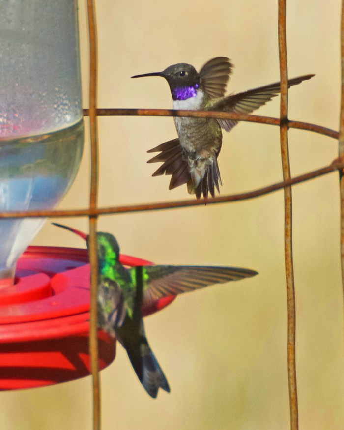 Broad-billed hummingbird perched on the feeder and black-chinned hummingbird flying in