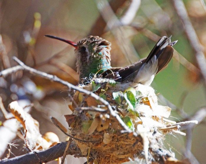 Broad-billed hummingbird female sitting on her nest, head and tail up and out of the nest
