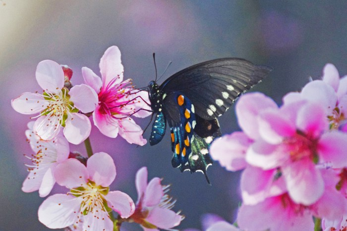 Pipevine butterfly, black with bright blue, orange, and white spots, on a cherry blossom
