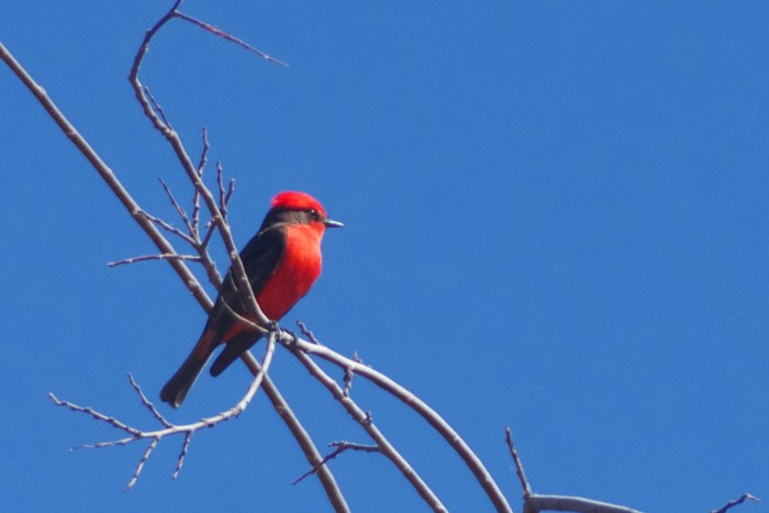 Vermillion flycatcher, a bright red and black bird, perched on a branch