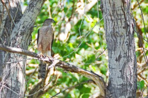 Cooper's hawk perched on a branch, facing the camera