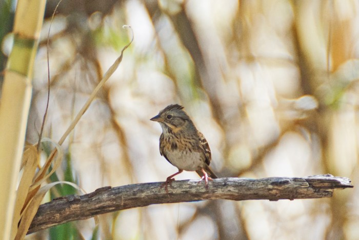Lincoln's sparrow, a brown, gray, white, and yellow striped bird, perched on a branch