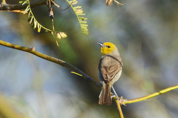 Verdin (yellow-faced small bird) sitting on a branch, head turned