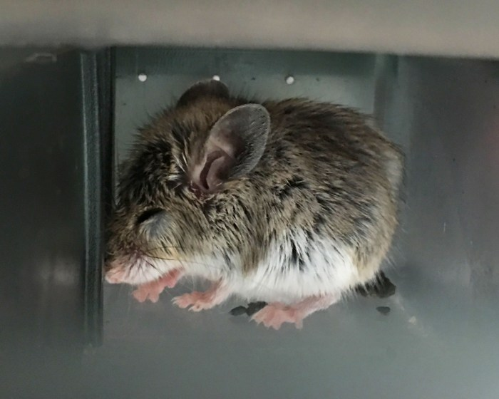 Side view of a mouse with eyes closed in the trap