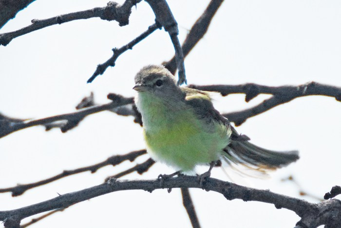 A gray and yellow Bell's vireo perched on a branch at Daniels Ranch