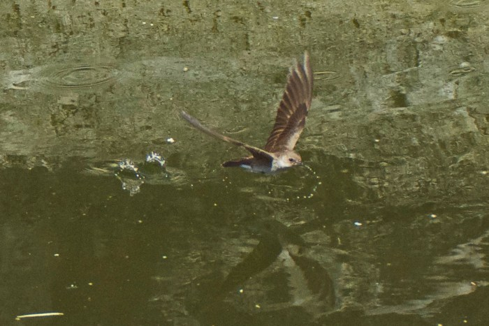 Northern rough-winged swallow flying over the waters of Ernst Tinaja in Big Bend National Park