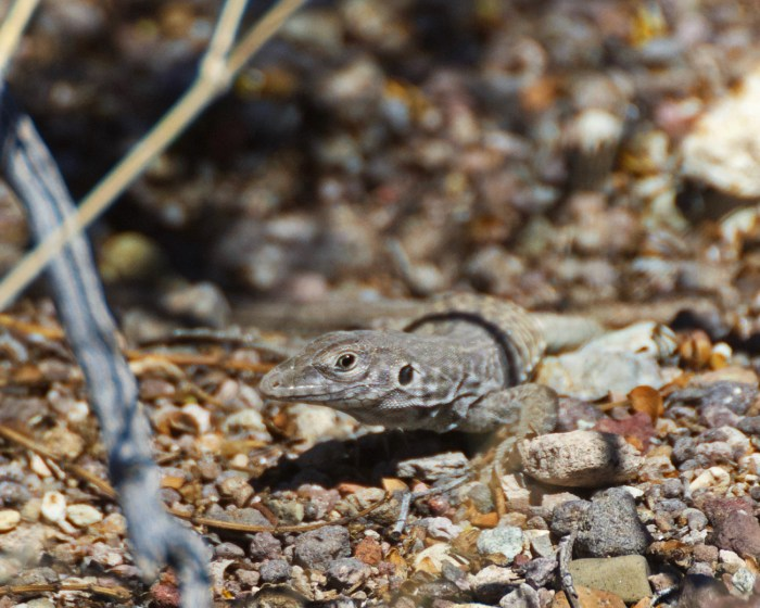 Whiptail peering at the camera along the Grapevine Hills trail in Big Bend National Park