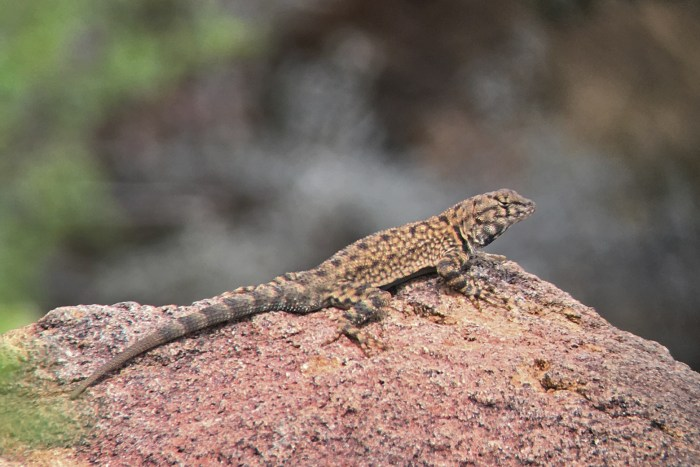 Canyon lizard, a smaller and spinier lizard with black collar, sitting on a rock at Grapevine Hills in Big Bend National Park
