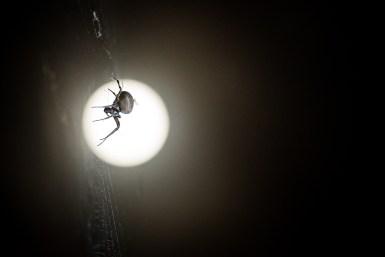 Full Moon Arachnid
