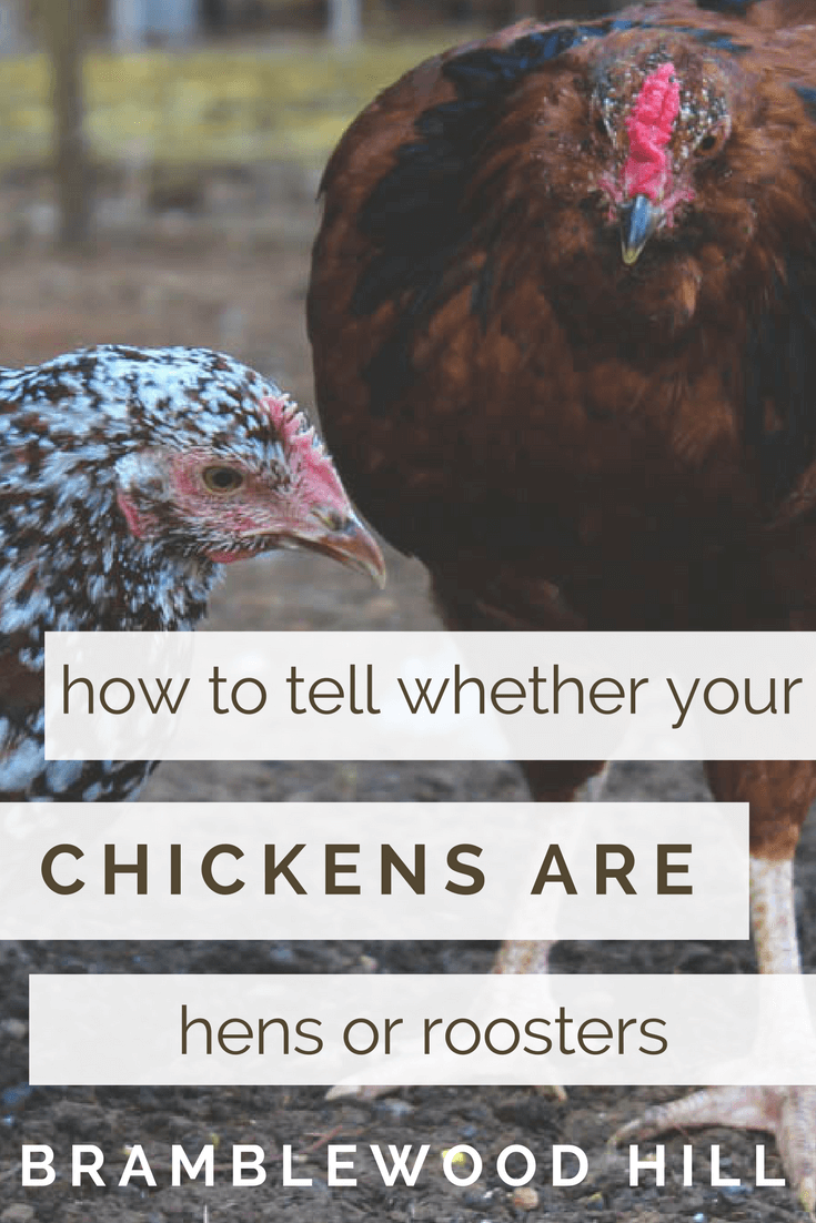 how to tell the sex of your chicken
