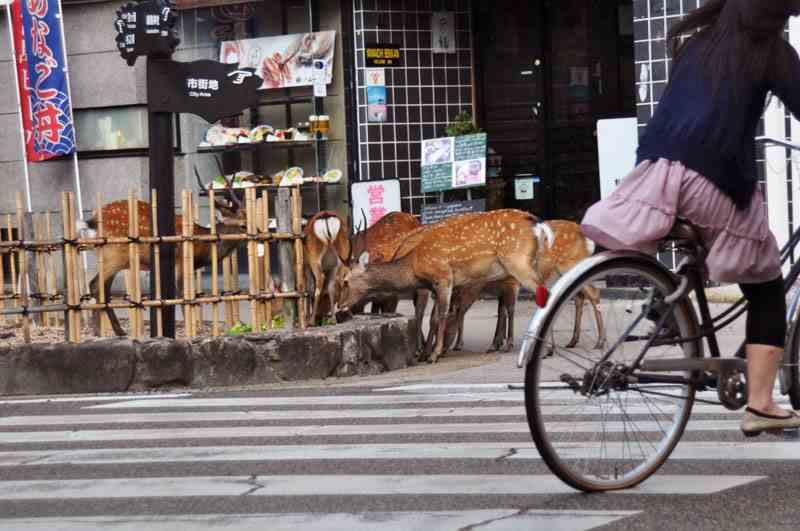 Deer roam the streets freely