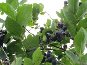 Ruhl's Blueberry Patch - Northwest Indiana