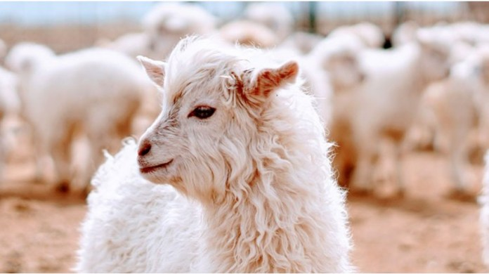 John Lewis to fund sustainable cashmere programme in Mongolia