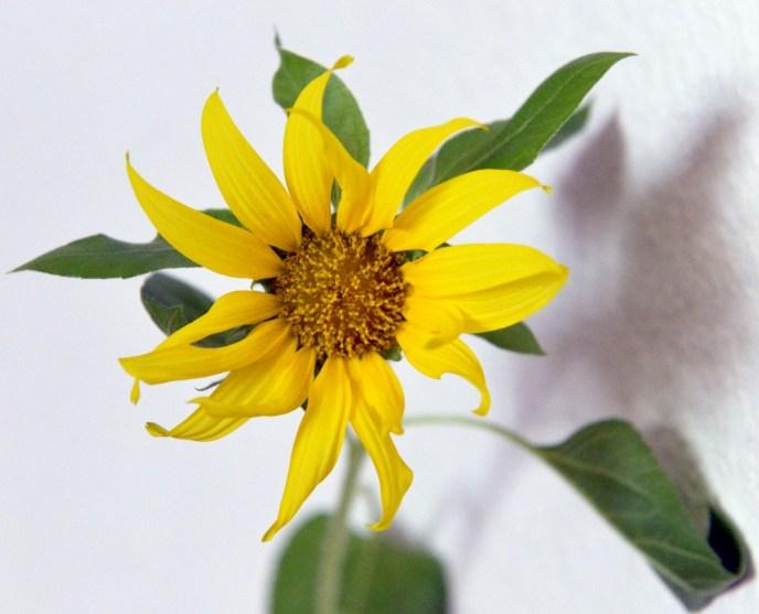 Das Geheimnis der japanischen Sonnenblume_2
