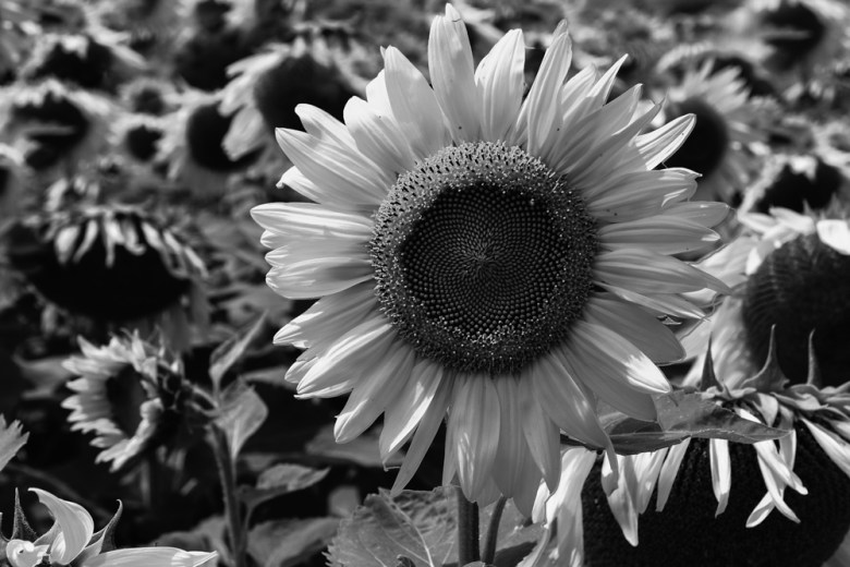 Sunflowers_3
