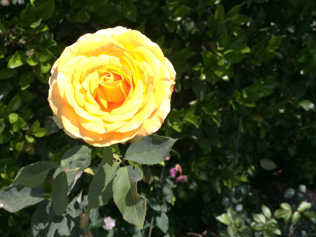 bright_large_yellow_rose_leafy_background