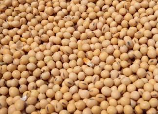 Soybean: High Demand Hampers N640 Billion Oilseed Exports