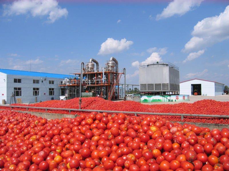 dangote-tomato-factory