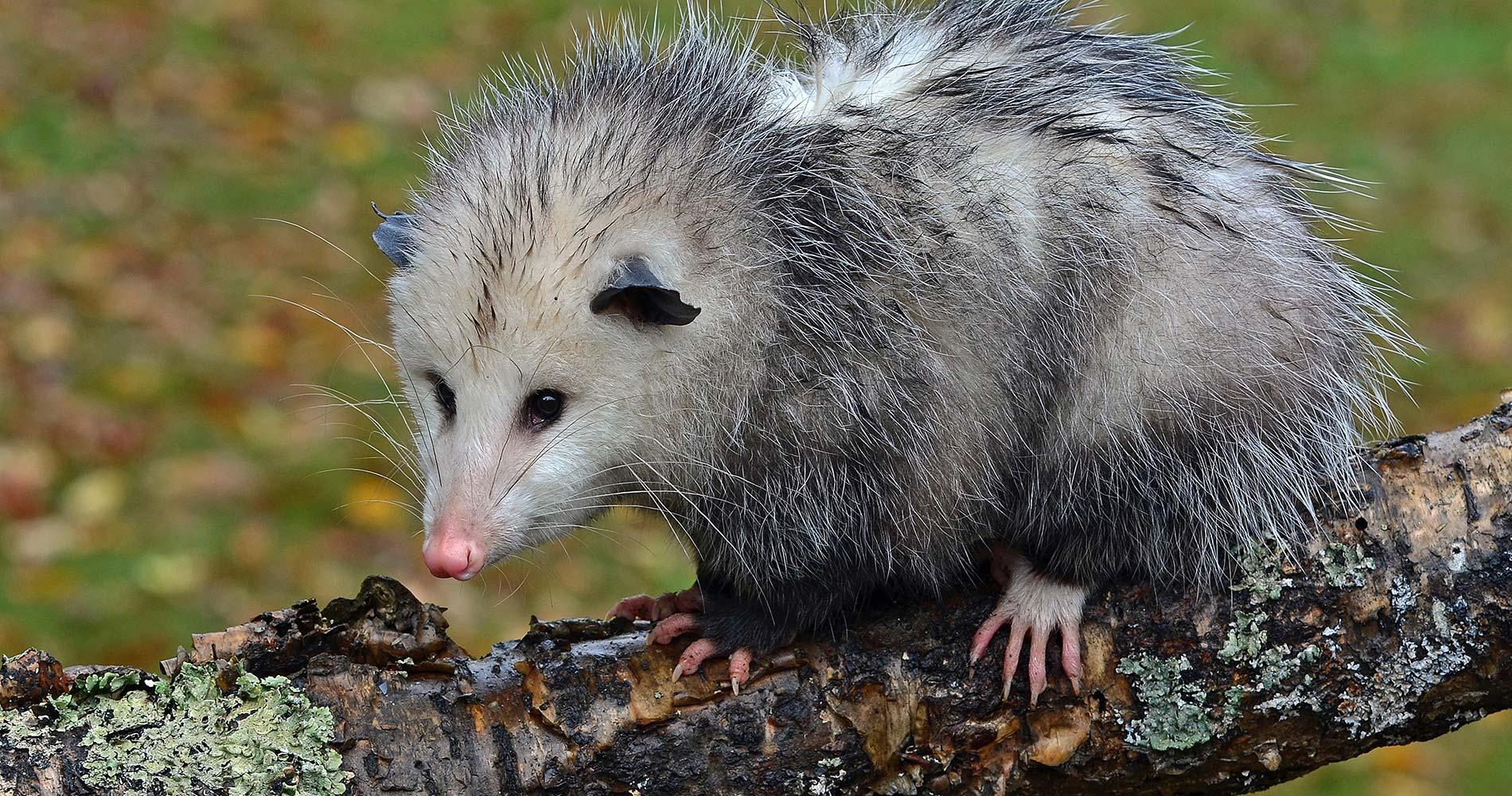A cute opossum