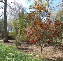 Bright red rhododendrum