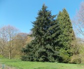Magnificent conifers
