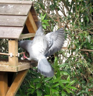 Feral or town pigeon