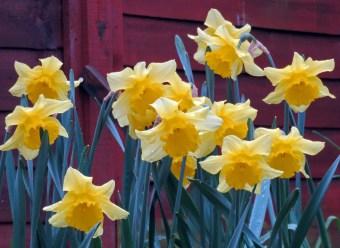 Daffodils 13042016