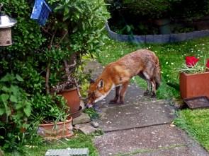 Foxy bold as brass
