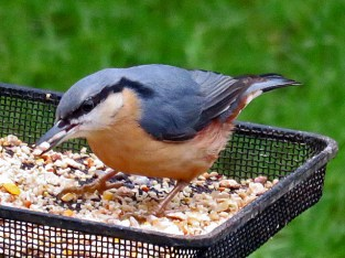 Nuthatch with sunflower heart