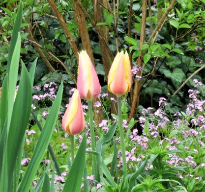 Detail tulips