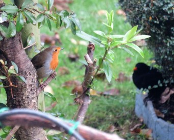 Robin eyeing up blackbird