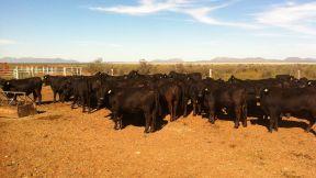 vaquillas del Rancho El Tarahumar inseminadas en el Centro de Genetica Ganadera La Campana