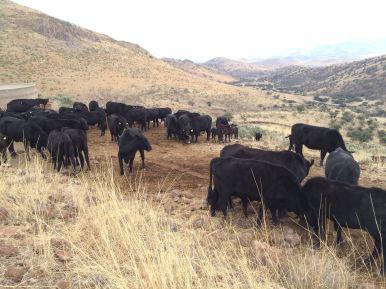 las vacas en los pastizales en la sierra