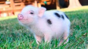 Mini pig: Saiba mais sobre o pet que virou mania no Brasil