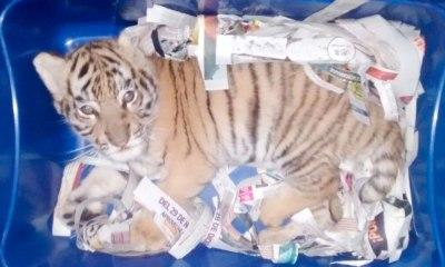 Tigre é apreendido ao ser enviado pelo correio
