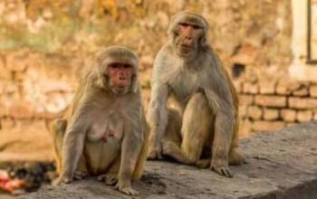 China registra 1ª morte por vírus raro de macaco