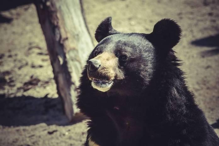 """Vídeo: Homem Flagra Urso """"Dançando"""" em Floresta no Norte de BC"""