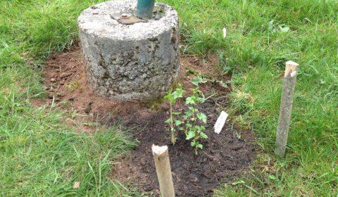 Houblon Strisselspalt planté dans une terre très riche