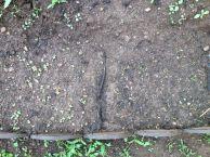 Le 13 mai, les graines semées une semaine plus tôt ont presque toutes germé !