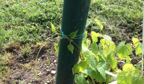 20 mai houblon Tradition. Il suffit de soutenir les tiges et elles s'enrouleront autour du poteau