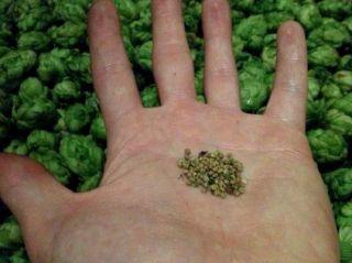 Les graines trouvées dans le houblon sauvage récolté dans le bas-rhin cet automne