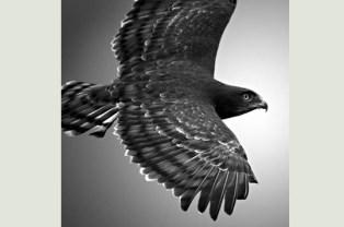 aigle en noir et blanc