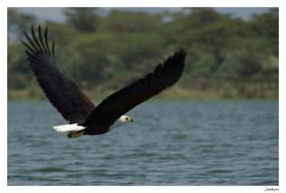 aigle noir volant sur la mer