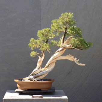 California_Juniper_bonsai_220,_October_10,_2008