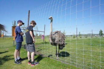 The boys checking out the ostriches.