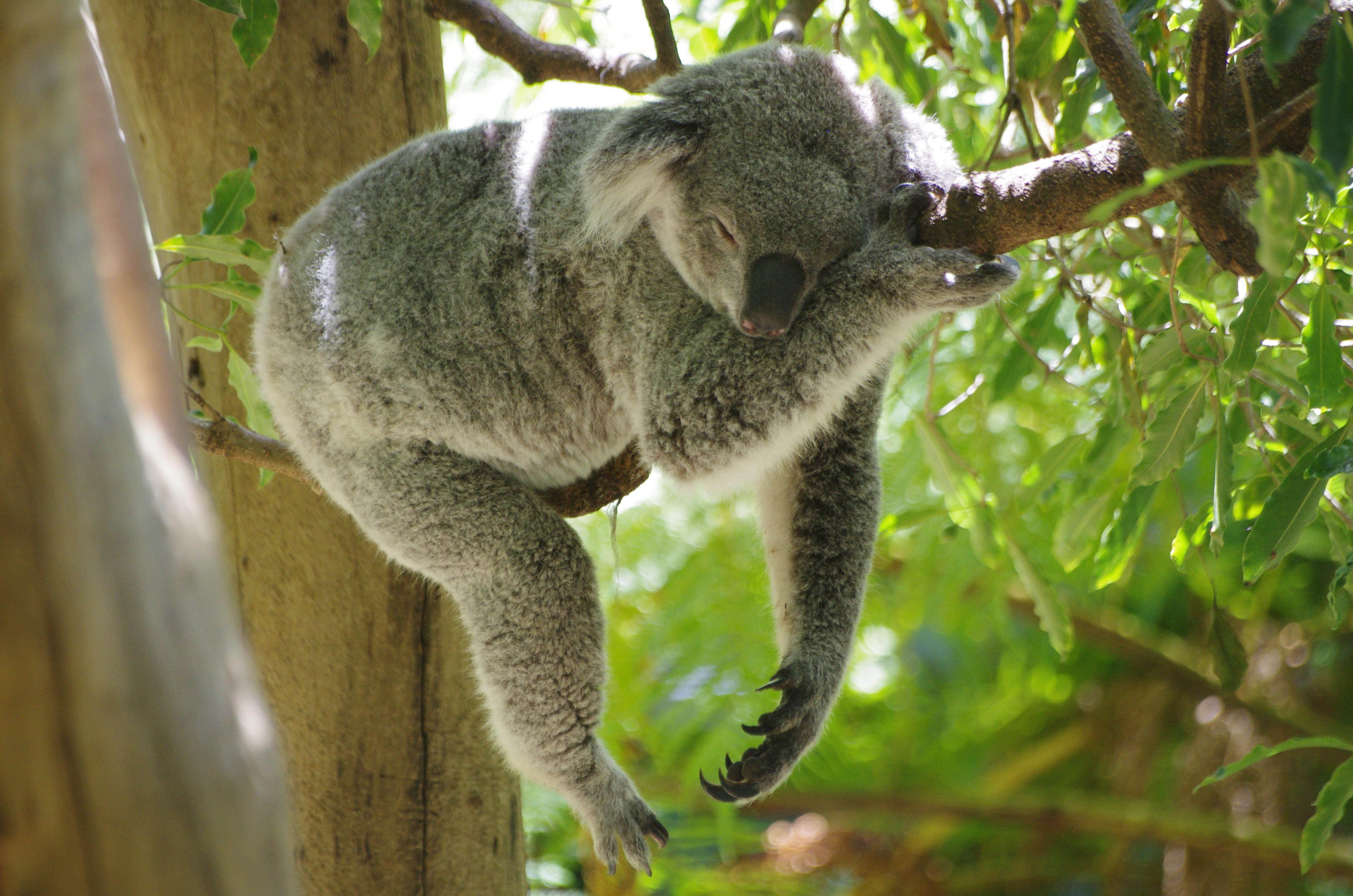 Por trás dessa tranquilidade toda, dentro do corpo do coala, desenrola-se uma longa guerra entre vírus e o material genético do animal. [Foto: Flickr / pelican]