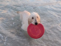 I accidentally threw the frisbee in the water and she just took off into it. She's liking the beach at least.