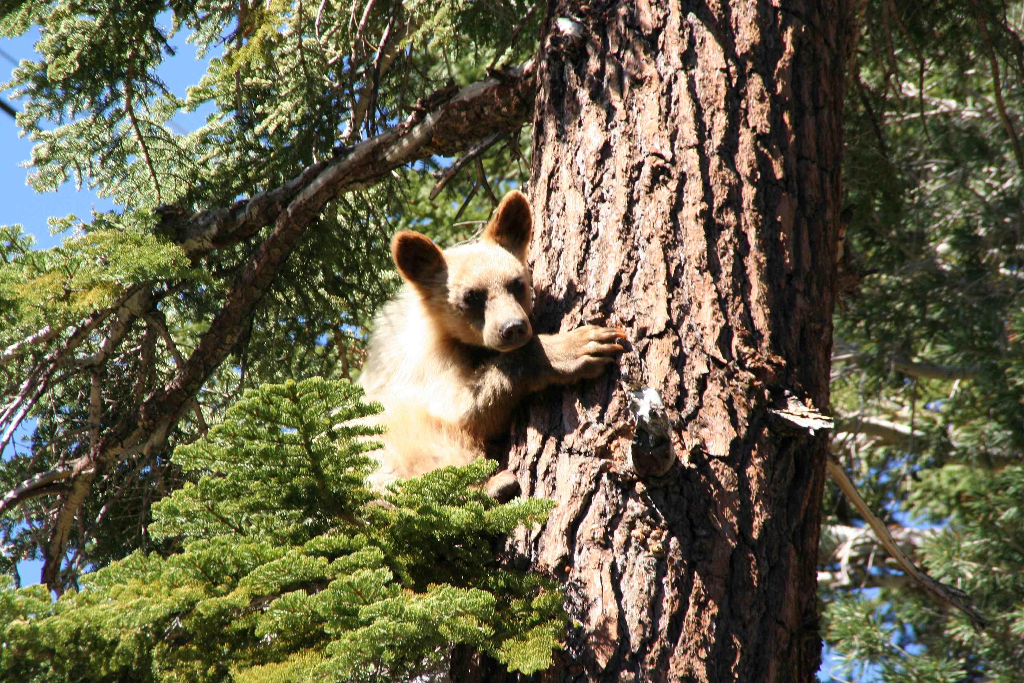 bear cub mammoth lakes