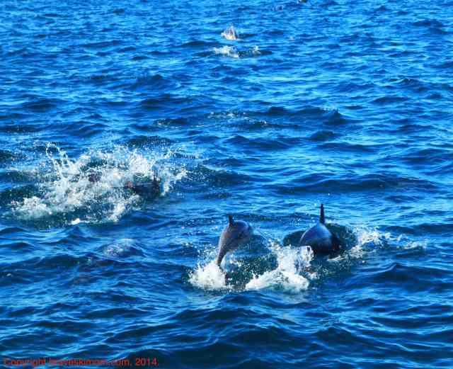 california dolphins