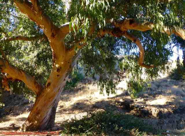 eucalyptus tree santa cruz island